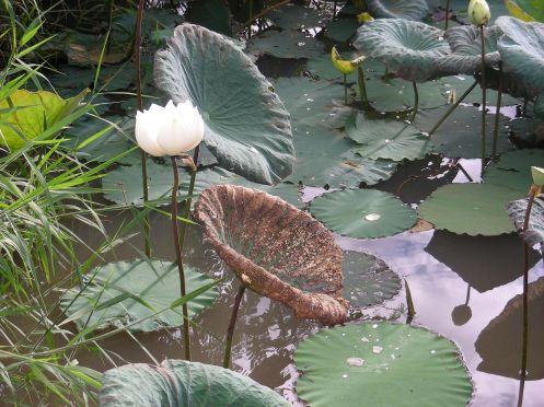 Lotus Flowers of Thailand